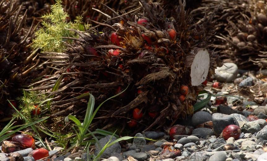 Racimo de frutos de palma. Curbarad-ó